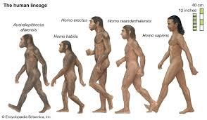 Evolution Of Man Chart Human Evolution Stages Timeline Britannica