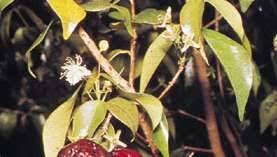 Eugenia   Description, Plant, Uses, & Facts   Britannica