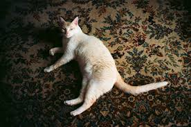 cats particularly unneutered males tend to mark their territory by spraying urine on carpets clothing and curtains this leaves a pungent odour that