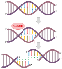 Restriction Enzyme Nuclease Wikipedia