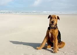 Airedale Weight Chart Airedale Terrier Dog Breed Information Pictures