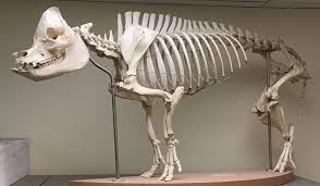 Small Animal Skull Identification Chart Object Of The Week Domestic Pig Skeleton When