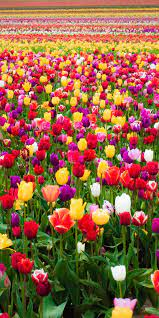 Colorful tulips, flowers, bloom, farm ...