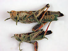 Image result for locust