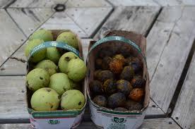 harvesting black walnuts. Delighful Harvesting You May Notice Some Tiny Hull  On Harvesting Black Walnuts S