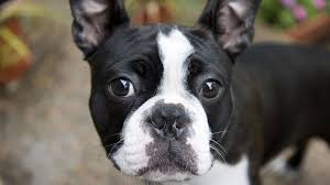 black and white french bulldog. Modren French Black And White French Bulldog Puppy 2 In And D