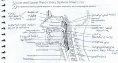 a p ii review sheet anatomy of the respiratory system essay   respiratory system know and be able to label the following