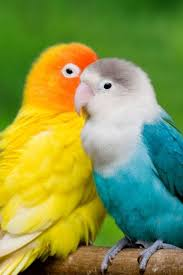 wallpaper love birds cute love birds hd wallpapers pictures to pin on larry bird