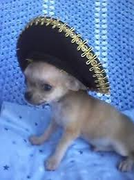 teacup applehead chihuahua puppies for