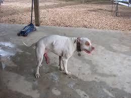 pitbull dog attacks man. Brilliant Man Pit Bull Attacks And Kills Another Dog Injures 83 YO Man  The Hull  Truth Boating Fishing Forum Throughout Pitbull Dog Attacks Man