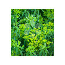 Euphorbia ceratocarpa   Sarah Raven