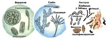 МИКРООРГАНИЗМЫ ГЕОГРАФИЧЕСКИЙ СЛОВАРЬ Группы микроорганизмов водоросли грибы бактерии