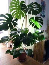 interior tall houseplants for low light super types of large house plants attractive indoor new
