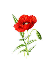 Image result for poppy image no background