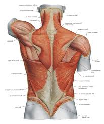 Back Muscles Anatomy Chart Clipart Images Gallery For Free