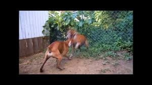 pitbull dog fights caught on tape. Brilliant Fights Throughout Pitbull Dog Fights Caught On Tape I