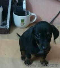 dashhound female puppy hyderabad