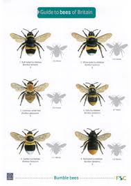 Bee And Wasp Identification Chart Uk Bees Of Britain Laminated Id Chart