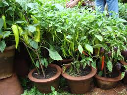 Kitchen Garden Plants Who Says A Kitchen Garden Cant Be Beautiful Garden Talk
