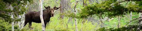 a moose king around an aspen tree in a green forest