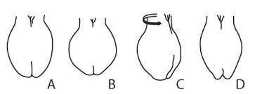 average balls size australian brahman breeders association limited