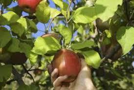 Fruit Tree Care Using Tree Limb Spreaders  Stark Brou0027sDormant Fruit Trees