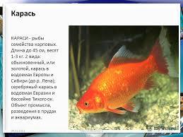 Презентация на тему Надкласс рыбы Многообразие рыб Класс  17 Карась