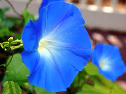 Image result for morning glory