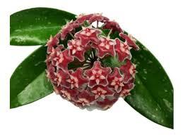 """A textura das flores é cerosa e brilhante, daí resultando a denominação comum de """"flor de cera"""". Muda Planta Flor De Cera Pendente Mercadolivre Com Br"""