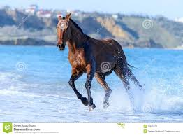 beautiful horses running in water. Unique Water Beautiful Brown Horse Running Gallop In Water On The Beach Of Sea To Horses Running In Water U