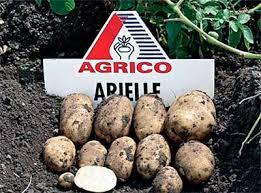 Сорта картофеля описание и фото ru Картофель Ариэль