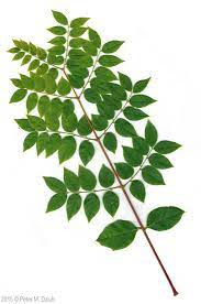 The seeds can be slightly poisonous. Kentucky Coffee Tree Kentucky Coffee Tree Tree Identification Coffee Tree