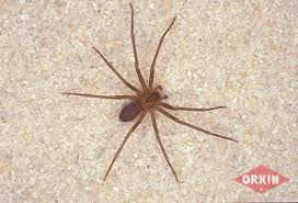 Brown Recluse Spiders Facts Identification Control