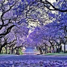 Jacaranda Afrikaans Top 20 Chart Jakaranda Trees Nairobi Kenya Africa Travel South