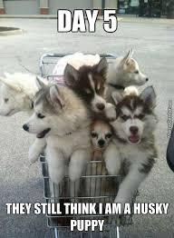 Husky Memes pt1 (10 pics) - Husky Lovers via Relatably.com