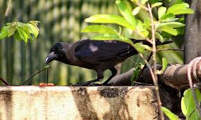Crow Vending Machine Plans Mesmerizing 48 Instances That Show How Technologically Predisposed Crows Are