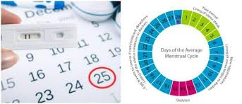 Standard Menstrual Cycle Chart Menstrual Cycle Calculator And Pregnancy Things That You