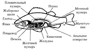 Класс костные рыбы Пищеварительная система окуня