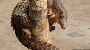 african white bellied pangolin