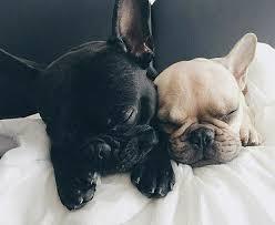 french bulldog puppies sleeping. Exellent Sleeping Inside French Bulldog Puppies Sleeping