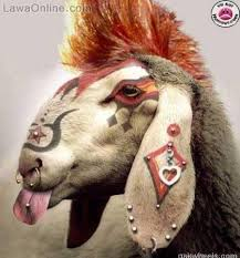 funny goat photos 2016