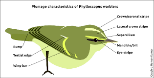 Warbler Identification Chart Leaf Warbler Id Made Easy Part Iii Tips On Identification