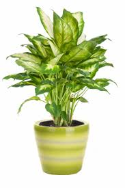 Extraordinary Indoor Plants No Light About Bcbeabffefaeffa Indoor Plants  Low Light Best Indoor Plants