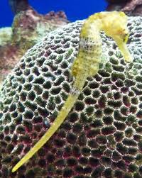 Long Snouted Seahorse Wikipedia