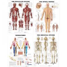 Laminated Chart Bundle Muscular Skeletal Dermatomes And Spinal Nerves