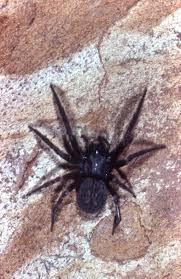 Australian House Spiders Chart Black House Spider The Australian Museum