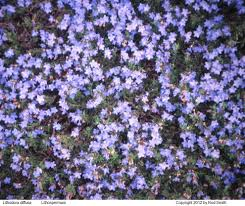 brilliant blue flowers lithoum med sun part may to july likes good drainage mazus reptans 5 2 x 18 evergreen groundcover blue flowers mazus med
