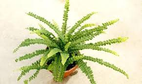 houseplants not safe for cats view in gallery lemon on fern in a terracotta pot large houseplants not safe for cats