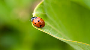 ladybugs are they good or bad all