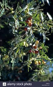 FUYU PERSIMMON TREE  Just Fruits And ExoticsLotus Fruit Tree